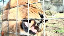 Liability questions in fatal lion attack?