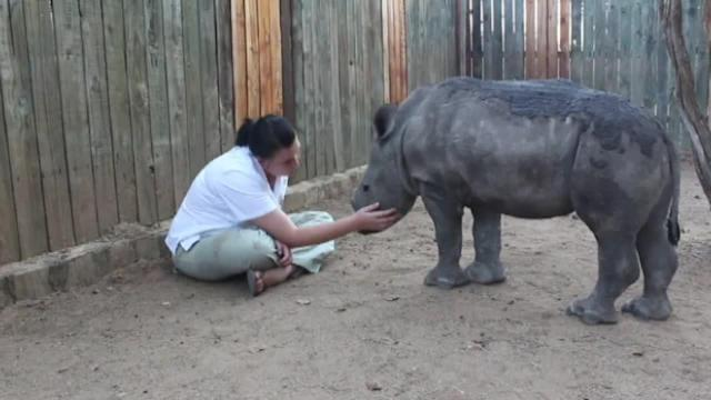 Baby rhino can't sleep alone after witnessing mother's death