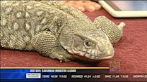 Zoo Day: Savannah monitor lizard