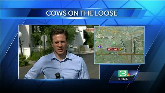 Cow found running loose in Sacramento