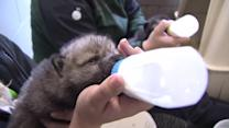 Abandoned wolf pups rescued from wildfire