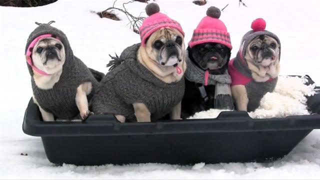 Pugs go for a sleigh ride