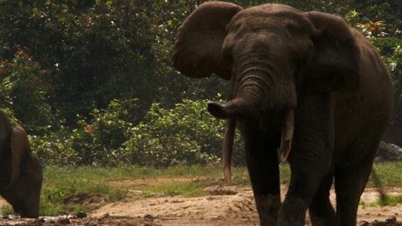 Forest Elephant Gets Rowdy