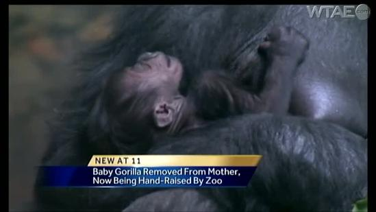 Baby gorilla removed from mother's care at Pittsburgh Zoo