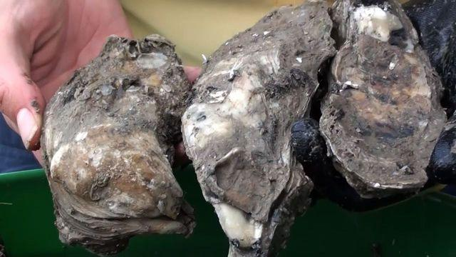 Oyster restoration project under way off Texas coast