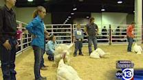 Feathery friends take center stage at Houston rodeo