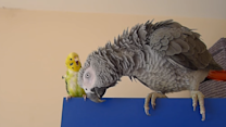 Parrot and Budgie Are Unlikely Best Friends
