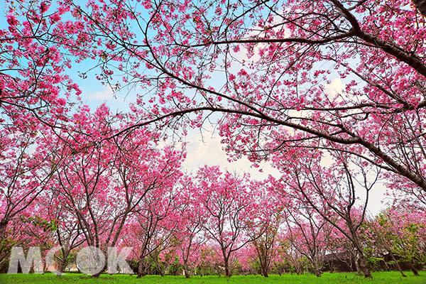 新社月湖莊園櫻花盛開 (圖片提供/黃風)