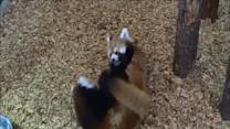 Cute Red Pandas Have a Wrestling Match