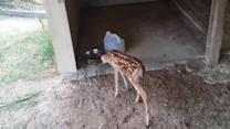 Dog feeds tiny deer who lost his mother