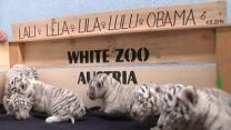 Zoo in Austria Unveils Five White Tiger Cubs