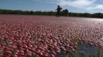 Cranberry harvest making a splash in Wisconsin