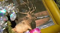Vigil held for Colo. elk shot by police officer