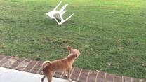 Chihuahua fails to intimidate grazing cows