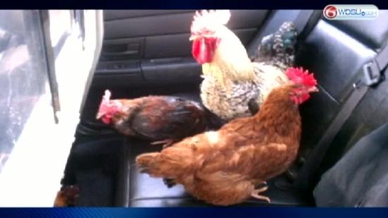 Chickens detained after breaking free, running loose on Causeway
