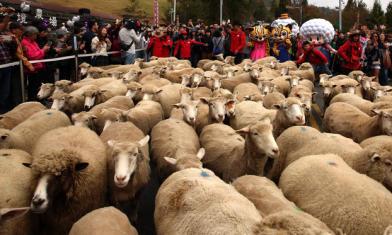 為108頭羊封路!這在台灣喔