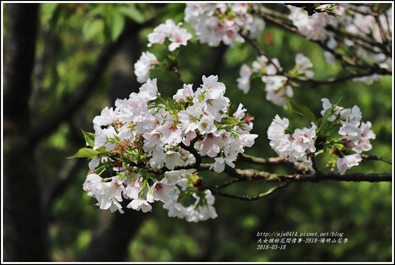 陽明山櫻花季-2018-03-28.jpg
