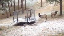 Elk Jumps on Family's Trampoline: Caught on Tape