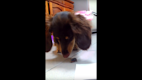 Dachshund Tries to Terrify Insect