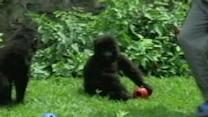 Md. Vets Work To Save African Gorillas