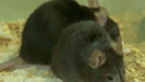 Fountain of Youth: These Mice May Hold the Key