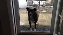 Dog confused by screenless door