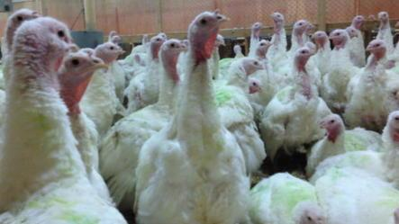 Turkeys abused by farm company