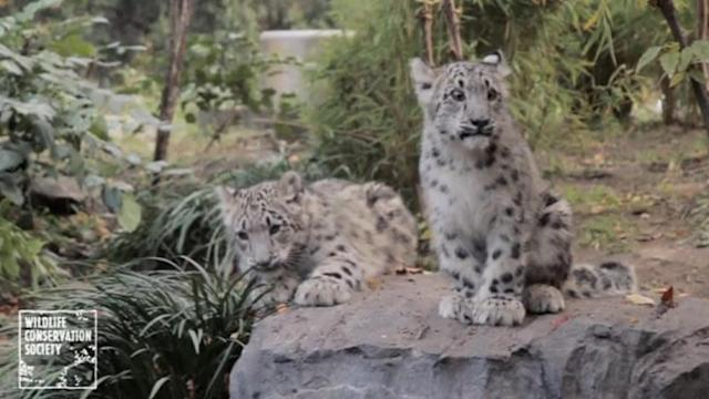 Snow leopard cubs debut at New York zoo