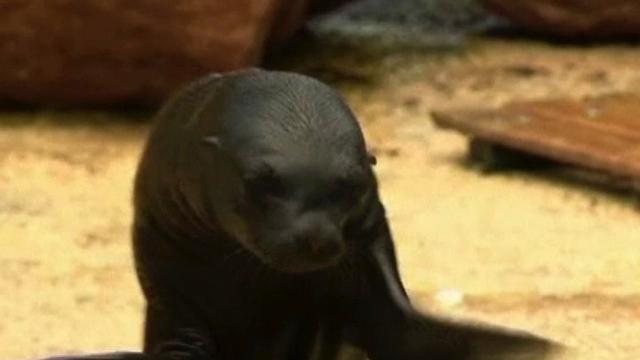 Baby Sea Lion Learns To Swim