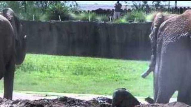 Baby Elephant Makes the Most of First Mud Wallow