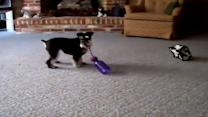Dog vs. Dog: Miniature Schnauzer Spins Super Fast