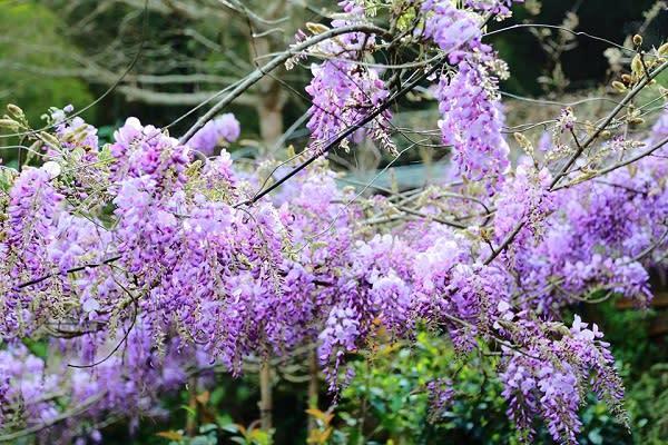 今年瑞里村更是舉辦紫藤花季,配合周邊景點一同舉行,多處賞花地點也讓大家可以安排一趟賞花之旅。
