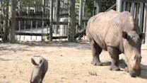 Rare White Rhino Born at Tampa Zoo