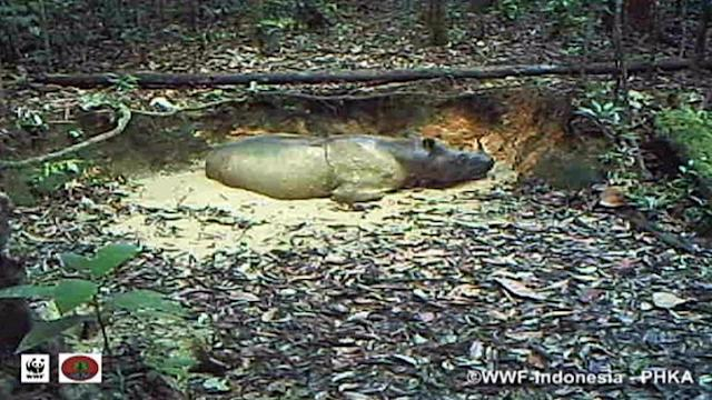 Cameras capture Sumatran rhino in Indonesia