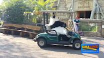 Runaway Golf Cart Driven by Panda