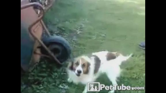 Dog Pulls a Wheelie