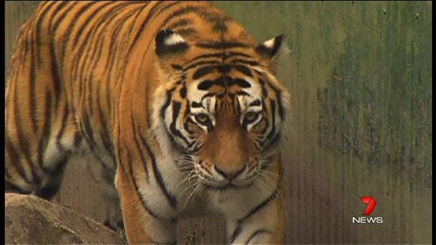 Dreamworld celebrates new tiger arrival