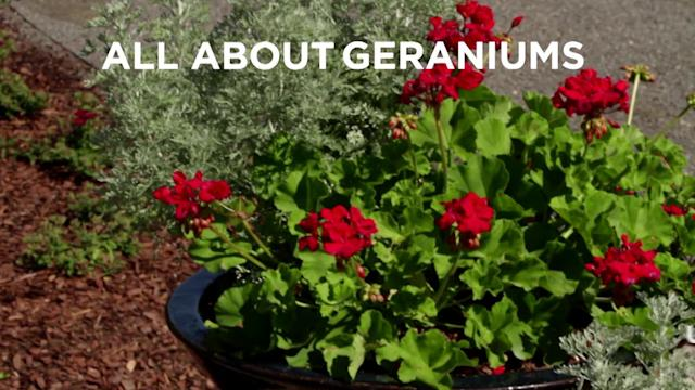 All About Growing Geraniums