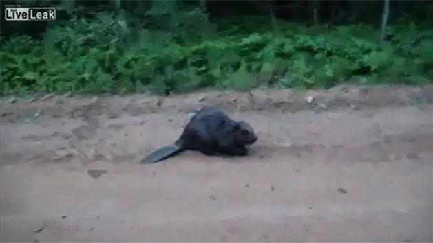 RAW: Man attacked by beaver