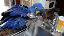 Parrot Bathes Self in Sink