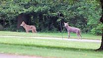 Coyotes spotted in Montgomery County