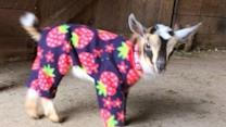 Baby Goats Play in Pajamas