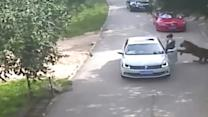 Woman's Attack by Tiger Caught on Video