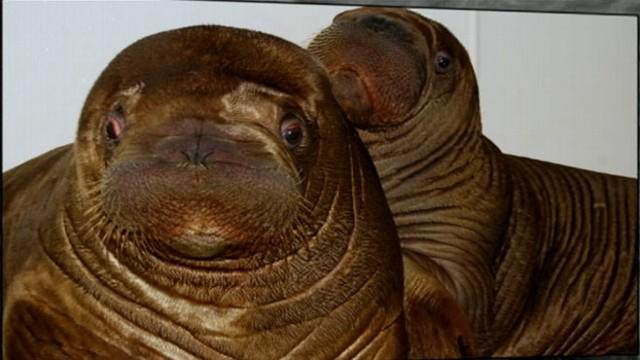 Orphaned Baby Walrus Gets New Home in New York