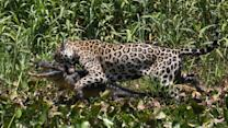 Caught On Camera: Jaguar Ambushes Caiman Crocodile