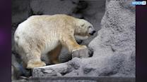 'Free Arturo': The Campaign To Save A 'Sad' Polar Bear In An Argentine Zoo