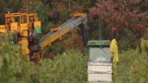 Grape harvest proves to be better than earlier predicted