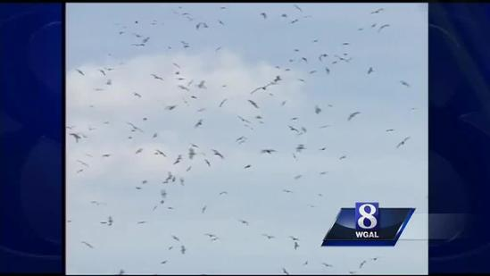 Wild Moments: Seagulls in the Susquehanna Valley?