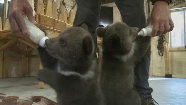 Abandoned Bear Cubs Adopted by Wisconsin Couple