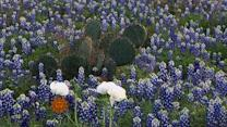 Nature: Bluebonnets